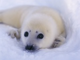 Newborn Harp Seal Reprodukcja zdjęcia autor Staffan Widstrand