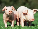 Two piglets in a field Photographic Print