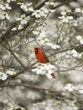 Close-up of Cardinal in Blooming Tree Photographie par Gary Carter