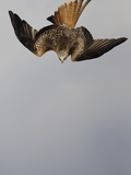 Red Kite in Flight Photographie par Andrew Parkinson