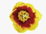 Tulip Blossom Photographic Print by Frank Krahmer