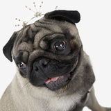 Pug Wearing Tiara Photographic Print