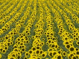 Field of Sunflowers Photographic Print by John Eastcott & Yva Momatiuk