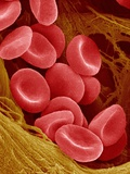 Human Red Blood Cells Photographic Print by Micro Discovery 