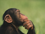 Chimpanzee Resting Chin in Hand Photographic Print