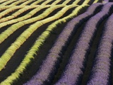 Partially Harvested Lavender Field in Provence Photographic Print by Frank Krahmer