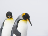 King Penguins Photographic Print by Tim Davis