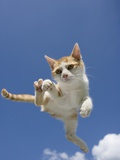 Orange and White Kitten Mid-air Photographic Print by Herbert Spichtinger