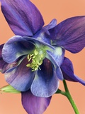 Common Columbine Blossom Photographic Print by Frank Krahmer