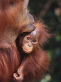 Orangutan Kissing Baby Photographic Print