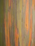 Rainbow Eucalyptus Tree Bark Fotografisk tryk af Lew Robertson