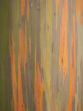 Rainbow Eucalyptus Tree Bark Photographic Print by Lew Robertson