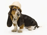Basset Hound Puppy Wearing a Safari Hat Photographic Print by Pat Doyle