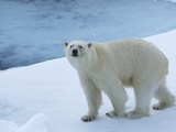 Polar Bear on Ice Photographic Print