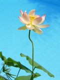 Lily by Swimming Pool Photographic Print by Fernando Bengoechea