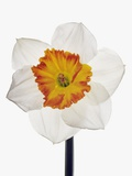 White Daffodil Photographic Print by Frank Krahmer