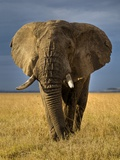 African Elephant Photographic Print by Andy Rouse