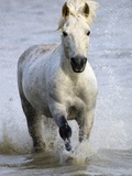 Camargue Horse Running in Water Photographic Print by Keren Su