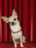 Chihuahua on Red Pillow Photographic Print