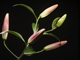 Lily Buds Before Blooming Photographic Print by Ton Kinsbergen