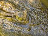 Nile Crocodile Photographic Print by Stuart Westmorland
