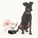 Manchester Terrier with Trophy Photographic Print by Pat Doyle