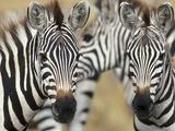 Zebras in Masai Mara National Reserve Photographic Print by Markus Botzek