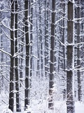 Snow-covered Trees in Forest Photographic Print by Jim Craigmyle