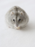 Hamster Eating Cheese Photographic Print