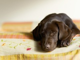 Chocolate Lab Puppy on Bed Photographic Print by Jim Craigmyle