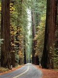 Avenue of the Giants in Autumn Fotografie-Druck von David Muench