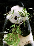 Giant Panda Eating Bamboo Photographic Print