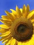 Front view of a beautiful sunflower Photographic Print by David Burton