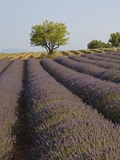 Lavender Field in Provence Photographic Print by Chris Hellier