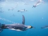 King Penguins Underwater Photographic Print by Paul Souders