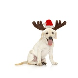 Lab Puppy Wearing Antlers Photographic Print by Lew Robertson
