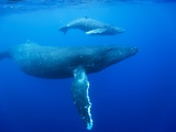 Humpback Whale Cow and Calf Underwater Photographic Print by Paul Souders