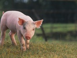 Yorkshire and Hampshire Mixed Breed Piglet Photographic Print