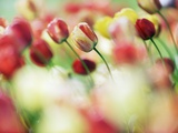 Tulip Flowers Photographic Print by Frank Krahmer