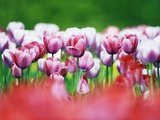 Pink Tulips Photographic Print by Frank Krahmer