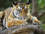Bengal Tiger Cub Lying on Rock Photographic Print by Theo Allofs