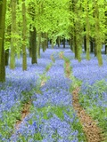 Path and Bluebells in Forest Photographic Print