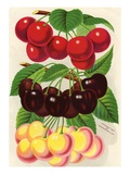 Illustration of Red, Purple and Yellow Cherries Giclee Print