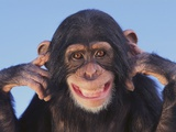 Chimpanzee Photographic Print
