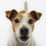 Jack Russell Terrier Photographic Print by Russell Glenister