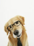Golden Retriever Wearing Eyeglasses and Necktie Photographic Print