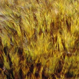 Abstract dry crops Photographic Print by Steve Klics