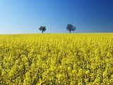 Two Maple Trees in Rape Plant Field Photographic Print by Frank Krahmer