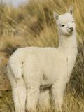 Baby Llama Photographic Print by John & Lisa Merrill