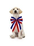 Lab Puppy Wearing Patriotic Bow Tie Photographic Print by Lew Robertson